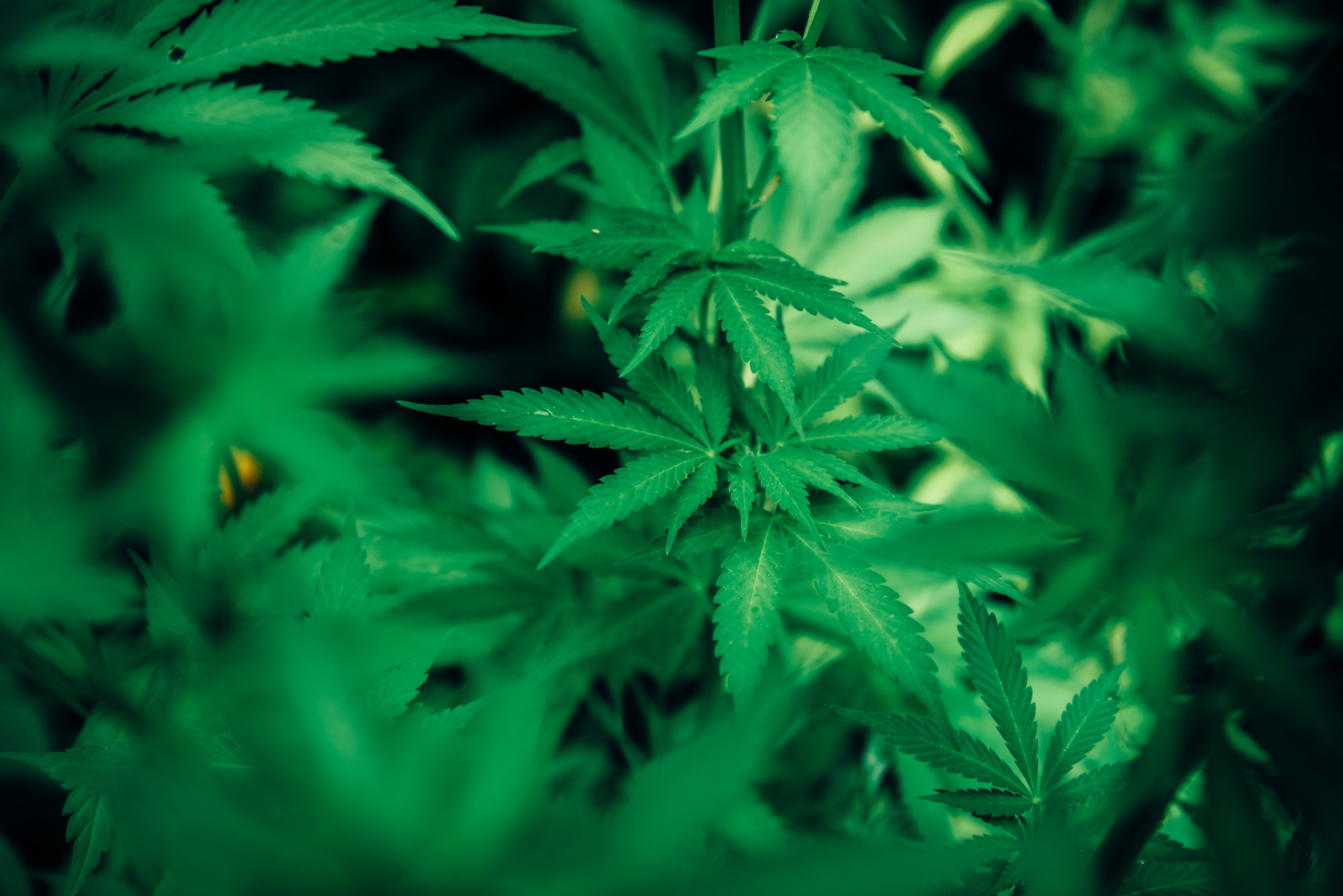 Corporate Cannabis: One-Hitter or Here to Stay?